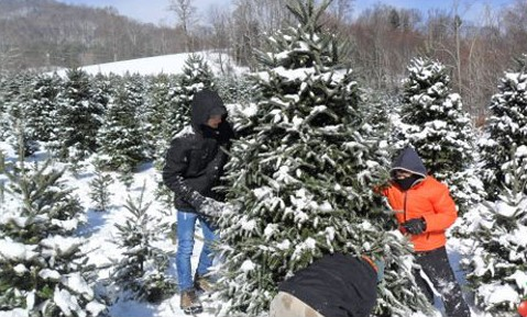 Choose and Cut Christmas Tree Packages