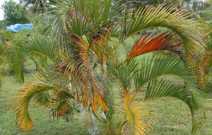 Fertilizing a Palm Tree
