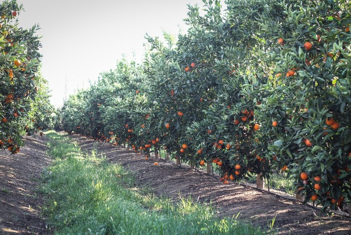 What Kind of Fertilizer for Citrus Trees?