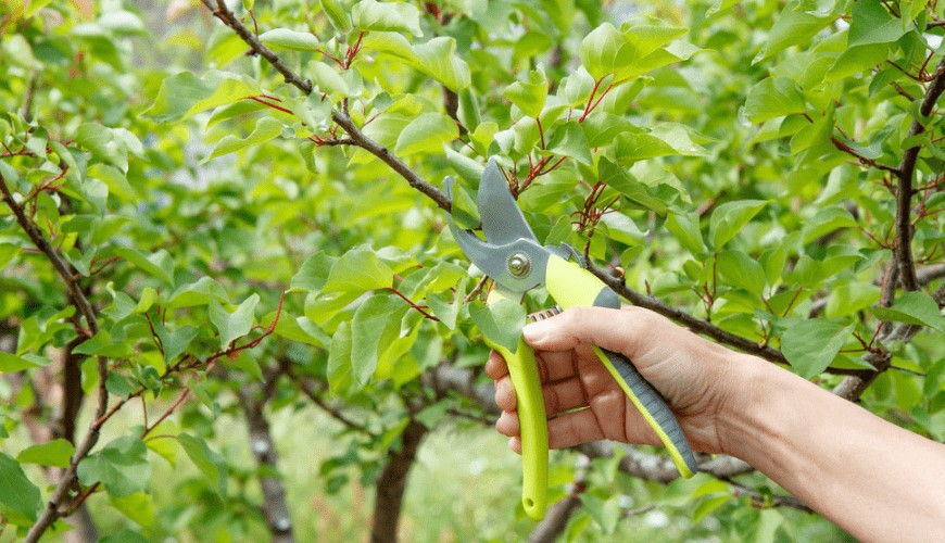 How and When to Prune Fruit Trees?