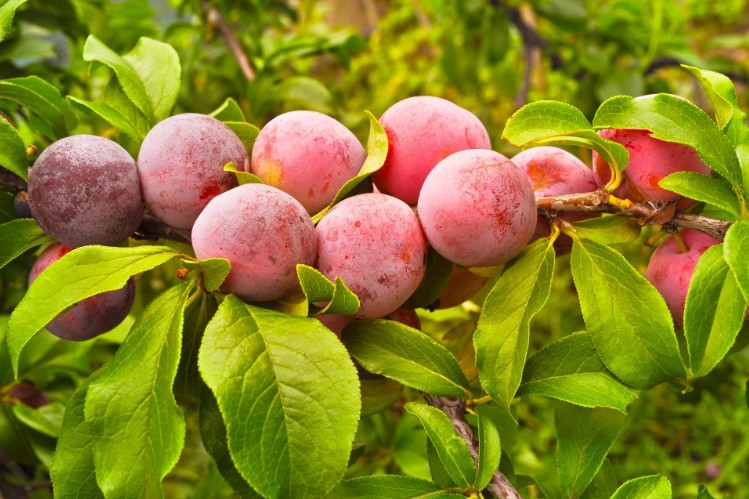 When Should You Prune Fruit Trees?